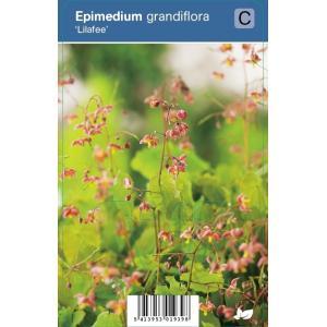 Elfenbloem (epimedium grandiflora Lilafee) schaduwplant - 12 stuks