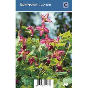 Elfenbloem (epimedium rubrum) schaduwplant - 12 stuks