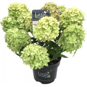 Hydrangea Paniculata Little Lime® pluimhortensia - 20-25 cm - 1 stuks