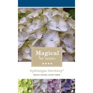 Hydrangea Macrophylla Magical Harmony Blauw® boerenhortensia - 40-50 cm - 1 stuks