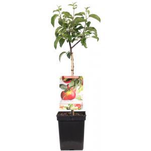 Appelboom (malus domestica Topaz) fruitbomen
