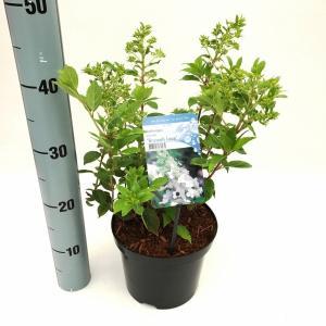 Hydrangea Paniculata Brussels Lace pluimhortensia - 25-30 cm - 1 stuks