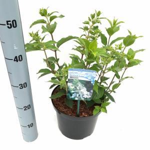 Hydrangea Paniculata Brussels Lace pluimhortensia - 40-45 cm - 1 stuks