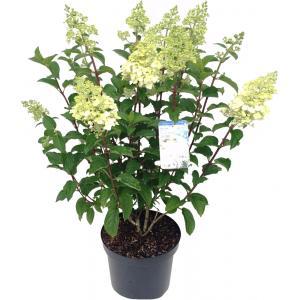 Hydrangea Paniculata Silver Dollar pluimhortensia - 45-55 cm - 1 stuks