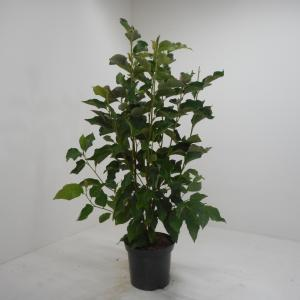 Magnolia struik Heaven Scent - 125 - 150 cm - 4 stuks