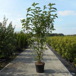 Magnolia struik Heaven Scent - 200 - 220 cm - 3 stuks