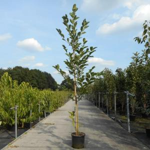 Magnolia struik Heaven Scent - 200 - 250 cm - 4 stuks