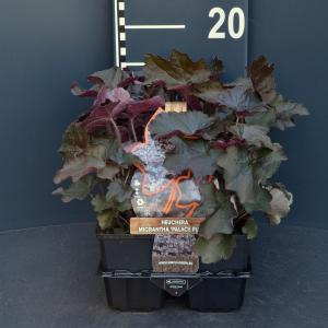 Purperklokje (heuchera micrantha Palace Purple) bodembedekker - 6-pack - 1 stuks