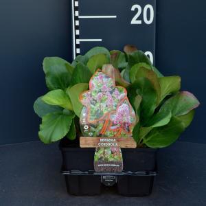 Schoenlappersplant (bergenia cordifolia) bodembedekker - 6-pack - 1 stuks