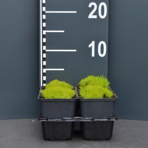 Vetmuur (sagina subulata Aurea) bodembedekker - 4-pack - 1 stuks