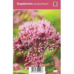 Leverkruid (eupatorium purpureum) najaarsbloeier - 12 stuks