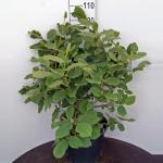 Magnolia struik Sieboldii