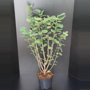 Magnolia struik Sieboldii - 100 - 125 cm - 5 stuks