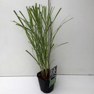 Prachtriet (Miscanthus sinensis Variegatus) siergras