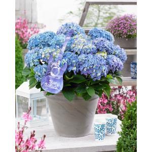 Hydrangea Macrophylla Music Collection Blue Ballad® boerenhortensia - 25-30 cm - 1 stuks