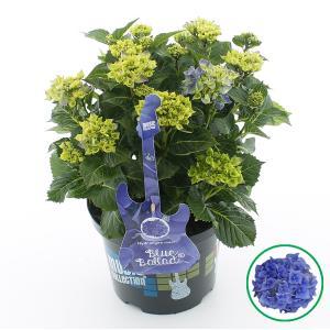 Hydrangea Macrophylla Music Collection Blue Ballad® boerenhortensia - 30-40 cm - 1 stuks