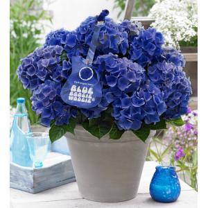 Hydrangea Macrophylla Music Collection Blue Boogiewoogie® boerenhortensia - 25-30 cm - 1 stuks