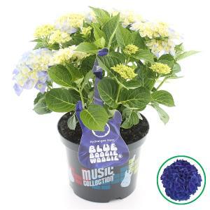 Hydrangea Macrophylla Music Collection Blue Boogiewoogie® boerenhortensia - 30-40 cm - 1 stuks