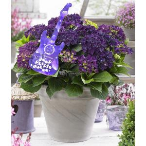 Hydrangea Macrophylla Music Collection Deep Purple Dance® boerenhortensia - 25-30 cm - 1 stuks