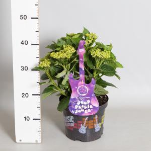 Hydrangea Macrophylla Music Collection Deep Purple Dance® boerenhortensia - 25-30 cm - 1 stuks