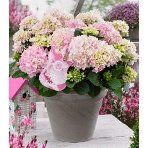 Hydrangea Macrophylla Music Collection Soft Pink Salsa® boerenhortensia - 25-30 cm - 1 stuks