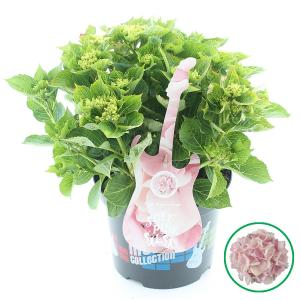 Hydrangea Macrophylla Music Collection Soft Pink Salsa® boerenhortensia - 30-40 cm - 1 stuks