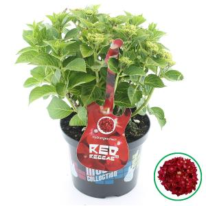 Hydrangea Macrophylla Music Collection Red Reggae® boerenhortensia - 30-40 cm - 1 stuks