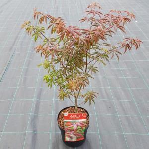 Japanse esdoorn (Acer palmatum Starfish) heester