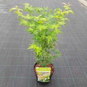 Japanse esdoorn (Acer palmatum Going Green) heester
