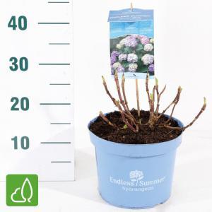 Hydrangea Macrophylla Endless Summer Bloomstar Blue® boerenhortensia - 25-30 cm - 1 stuks