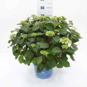 Hydrangea Macrophylla Endless Summer Bloomstar Blue® boerenhortensia - 50-70 cm - 1 stuks