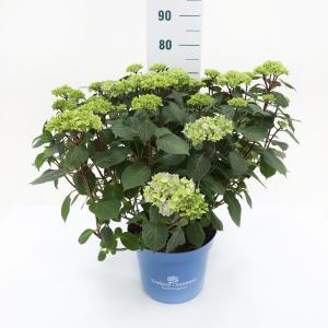 Hydrangea Macrophylla Endless Summer Bloomstar Pink® boerenhortensia - 50-70 cm - 1 stuks