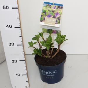 Hydrangea Macrophylla Magical Coral Blue® boerenhortensia - 25-30 cm - 1 stuks