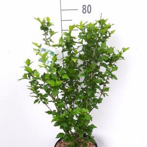 Hibiscus syriacus Totus Albus - 5 stuks