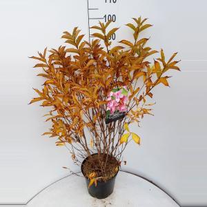 Weigela struik Bouquet Rose - 5 stuks