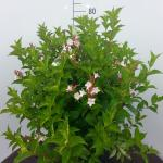 Weigela Florida struik Pink Princess