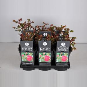 Trosroos (rosa Kimono Fuchsia)