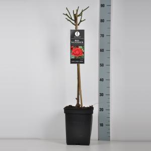 Trosroos op stam (rosa Red Wanderer) - Stam 50 cm - 1 stuks