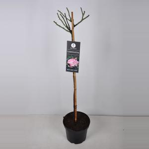 Trosroos op stam (rosa Laminuette) - 90 cm - 1 stuks