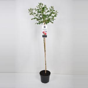 Treurroos (rosa Rosarium Uetersen®) - Op stam 110 cm - 1 stuks