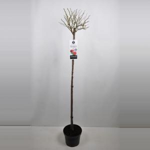 Treurroos (rosa Rosarium Uetersen®) - Op stam 140 cm - 1 stuks