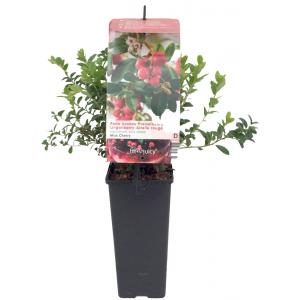 Bosbes (vaccinium vitis-idaea Miss Cherry®) fruitplanten