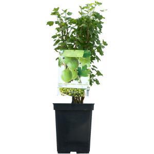 Groene kruisbes (ribes uva crispa Tatjana) fruitplanten