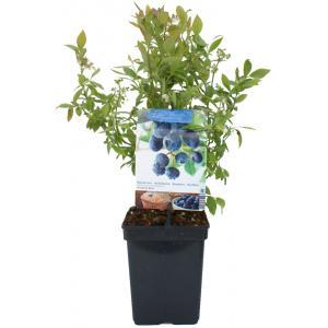 Bosbes (vaccinium corymbosum Sunshine Blue) fruitplanten