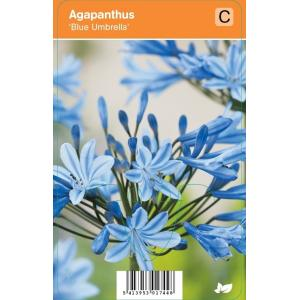 Afrikaanse lelie (agapanthus Blue Umbrella) zomerbloeier - 12 stuks