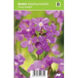Rijstebrij (arabis blepharophylla Rose Delight) voorjaarsbloeier - 12 stuks