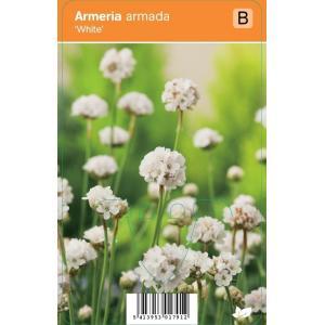 Engels gras (armeria armada White) zomerbloeier - 12 stuks