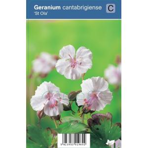 Ooievaarsbek (geranium cantabrigiense St. Ola) schaduwplant - 12 stuks