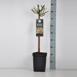 Trosroos op stam (rosa Kimono Fuchsia) - Stam 50 cm - 1 stuks