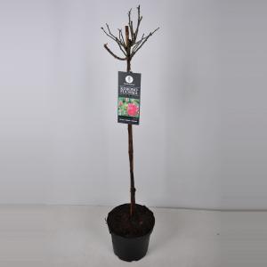 Trosroos op stam (rosa Kimono Fuchsia) - Stam 90 cm - 1 stuks
